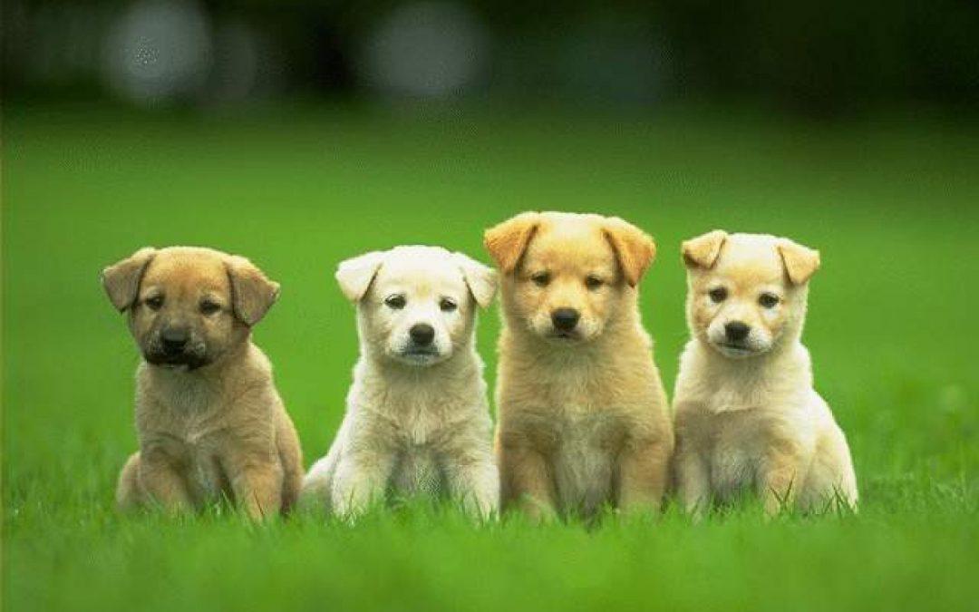 Las razas de perro más pequeños del mundo